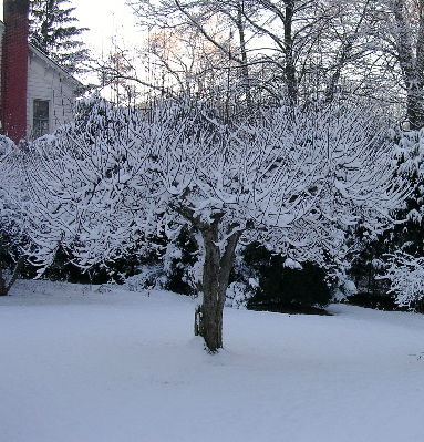 apple-tree-in-snow.jpg