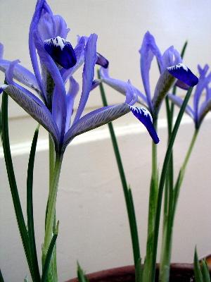 clairette-iris.jpg