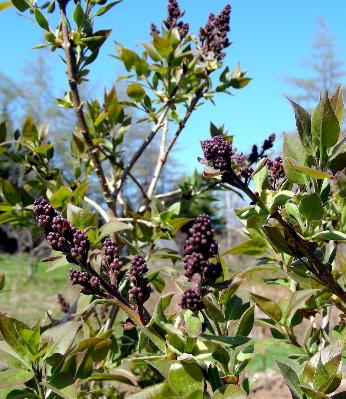 lilac-buds-07.jpg