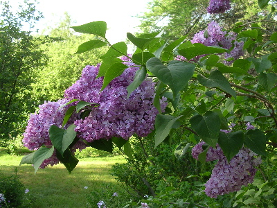 lilac-side-view.jpg