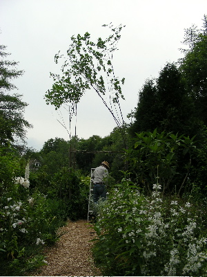 arch-saplings-upright.jpg