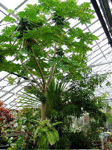 papaya-tree.jpg