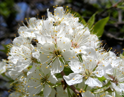 plum-blossom-with-bee.jpg