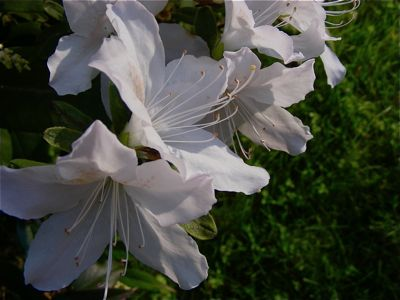 early white azalea