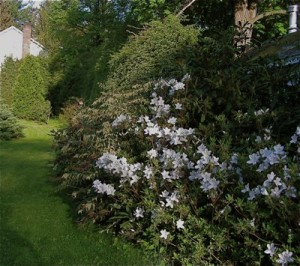 white azalea next to leucothoe