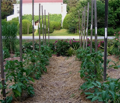 tomato stakes with labels attached