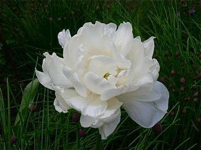 Mt. Tacoma peony flowered tulip