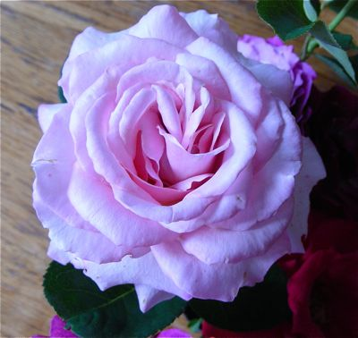 pink grandiflora rose