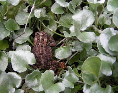 small toad in licorice plant