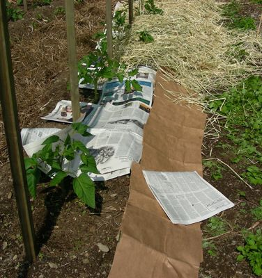 mulching tomatoes with paper and straw