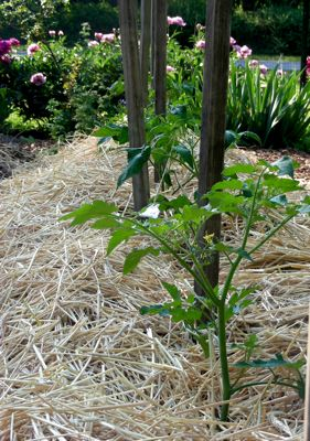 tomato seedling mulched with straw