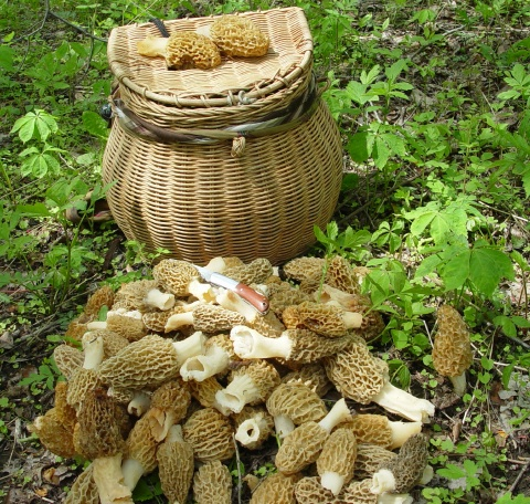 collecting basket, morels