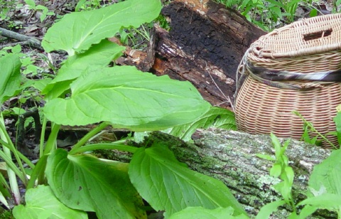 morels grow with elm ( and sometimes skunk cabbage)