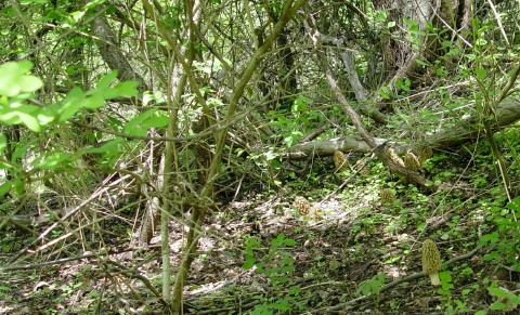 thicket where morels are found