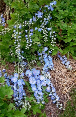 delphiniums bite the dust ( or straw)