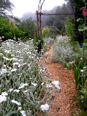 silver leafed plants, resisting drought