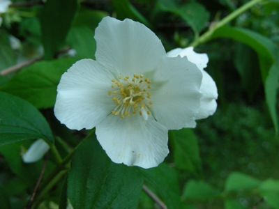 philadelphus flower closeup