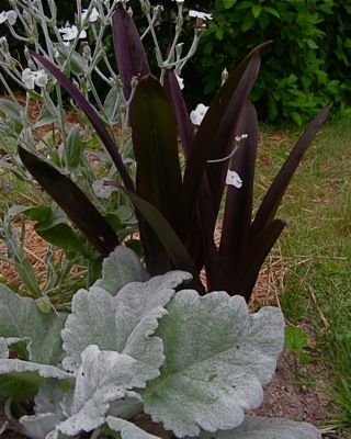 silver and purple, salvia and eucomis