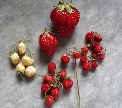 assorted strawberries, compared for size