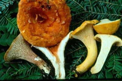 toxic chanterelle, Gomphus floccosus