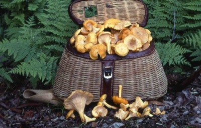 Chantarelles, cantharellus cibarius, in collecting basket