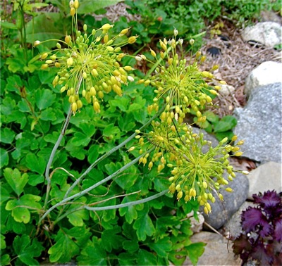 allium flavum, golden bells