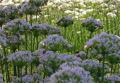 garlic chives in flower with bees