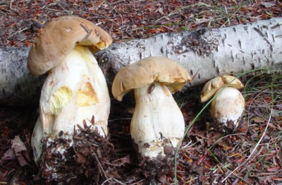 Taxonomic complexity: Boletus huronensis (often misidentified even by trained mycologists as the European B. impolitus) is often collected by amateurs as B. edulis.