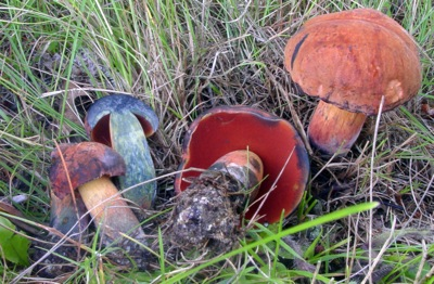 Boletus subvelutipes. Note red tube mouths and the instant dark blue staining of this toxic mushroom.