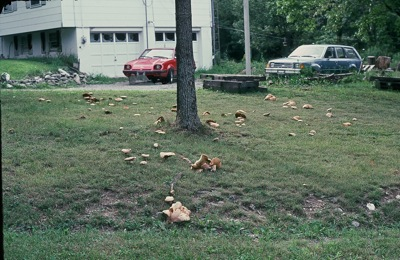 A yard full of Porcini from one tree