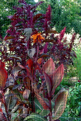 Canna 'Tropicana', fightin' it out with the amaranth