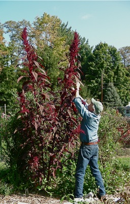 Giant Red Amaranth, about 9 feet tall in September