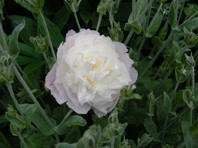 'Florence Nichols' peony in the lychnis