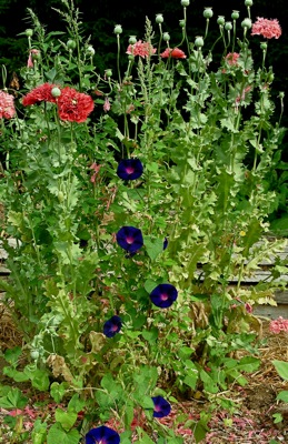volunteer poppy and morning glory