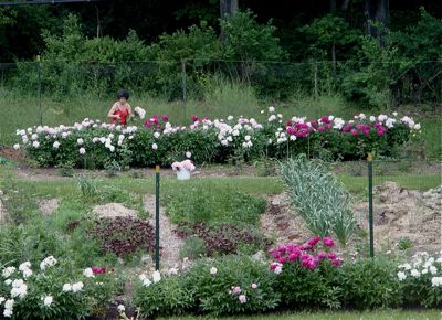 peonies in the vegetable garden