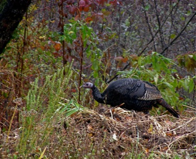 * Wild turkeys are back, big time, although not yet back on the table