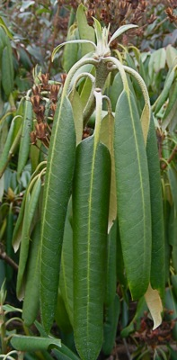 rhododendron leaves in self-protective mode; it's 20 degrees F.