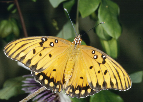 Agraulis vanillae, the Gulf Fritillary, photo by Peter J. Bryant