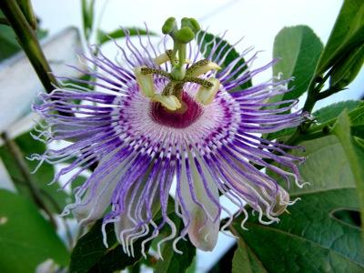 Passiflora incarnata, aka Maypop