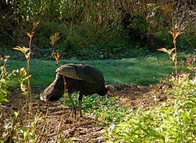 wild turkey dining on rye and clover
