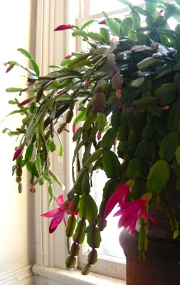Christmas cactus, all budded up
