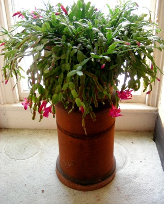 The Christmas cactus, 12/25/08