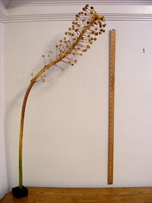 dried flower stem (and yardstick)