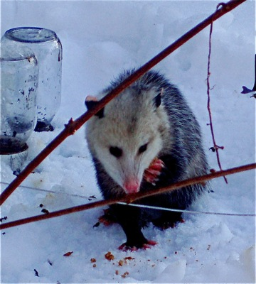 Opossum eating cake instead of bees (Bill threw some so it would hold still)
