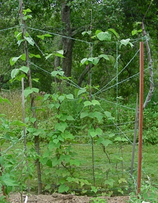string and sapling trellis (please ignore oak post in foreground)
