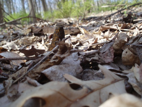 Black Morels: hard to find, hard to see