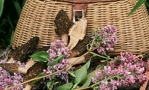 he peak season for Eastern Black Morels often coincides with the fragrant bloom of Lilac