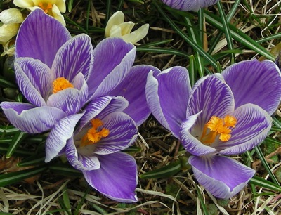 Crocus are still the main attraction.