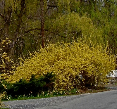 Forsythia in thicket mode