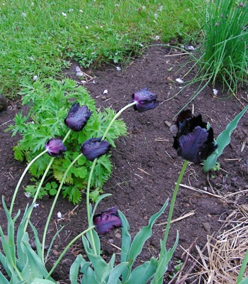 we have been having pounding rain and these are not looking too beautiful, but you get the idea. This bunch of black parrots gets plenty of sun is planted in extremely ( sigh) sandy soil.